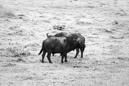 Picture of two buffalos parring and playing in the Isimangaliso National Park in Southafrica