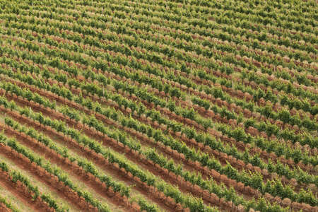 Picture of the vineyards in Stellenbosch, the town near Cape Town famous for the production of wine