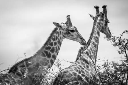 Picture of two giraffes during a safari in the Hluhluwe - imfolozi National Park in South africa 版權商用圖片 - 140261345