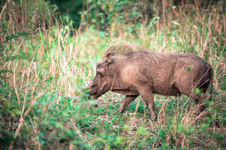 Picture of a warthog in the grass during a safari in the Hluhluwe - imfolozi National Park in South africa 版權商用圖片
