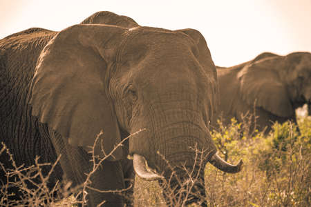 Picture of an african elephant at sunrise during a safari in the Hluhluwe - imfolozi National Park in South africa