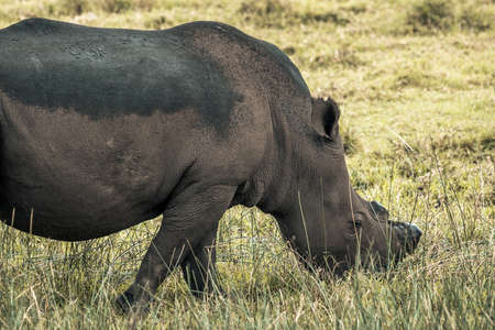 picture of a black rhino eating grass in the Isimangaliso National Park in Southafrica