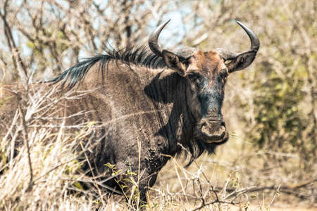 Picture of a gnu (wildebeest) during a safari in the Hluhluwe - imfolozi National Park in South africa 版權商用圖片 - 140261428