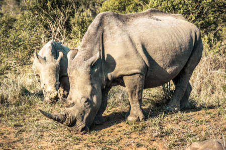 Picture of two rhinos eating grass in the Hluhluwe - Imfolozi National Park, South africa 版權商用圖片 - 140261431