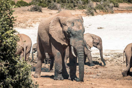 Picture of the african elephants in the Addo Elephant National Park, near Port Elizabeth, South africa 版權商用圖片