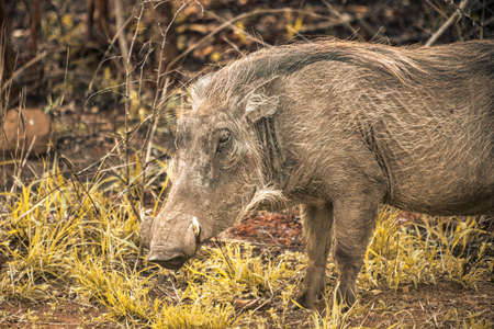 Picture of a warthog eating grass the Hluhluwe - imfolozi National Park in South africa 版權商用圖片 - 140261455