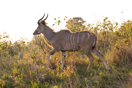 Picture of a male Kudu at sunset portrayed during a safari in the Hluhluwe - Imfolozi National Park, South africa