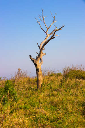 Picture of a dry dead acacia tree in the Hluhluwe - imfolozi National Park in South africa