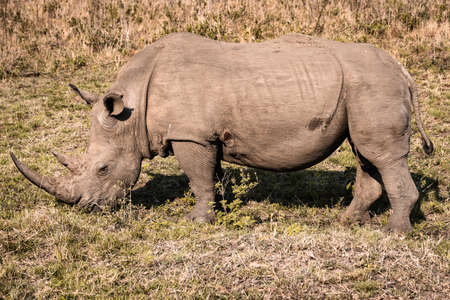 Picture of a white rhino eating grass during a safari in the Hluhluwe - imfolozi National Park in South africa