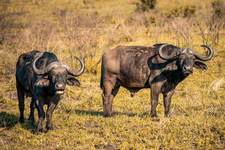 A group of Buffalos at sunrise during a safari in the Hluhluwe - imfolozi National Park in South africa 版權商用圖片 - 140261475