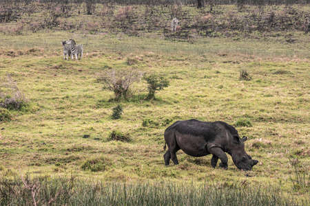 picture of a black rhino and zebras eating grass in the Isimangaliso National Park in Southafrica 版權商用圖片