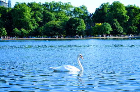 swan swimming in the lake photo