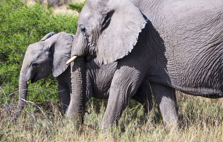 loxodonta: Namibia, Owamboland, elephants loxodonta africana in the Etosha National Park Stock Photo