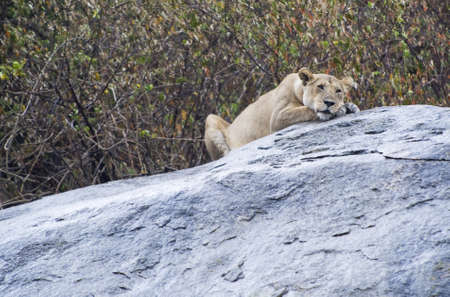 lobe: Tanzania, Serengeti National Park, Lobo area, a lion Panthera leo