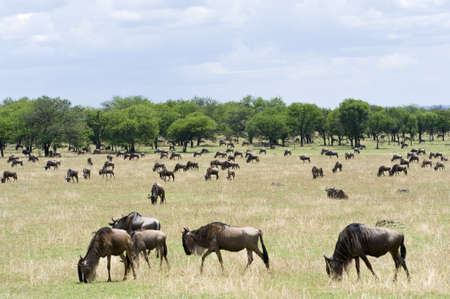 migrations: Tanzania, Serengeti National Park, the Mara River area, the annual migration of the wildebeests Connochaetes taurinus Stock Photo