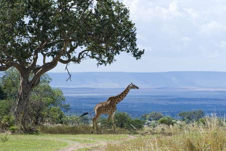 tanzania: Tanzania, Serengeti National Park, the Mara River area, camelopardalis giraffes Stock Photo
