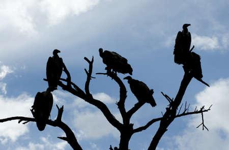 gyps: Tanzania, Serengeti National Park, the Mara River area, griffon vultures Gyps rueppellii