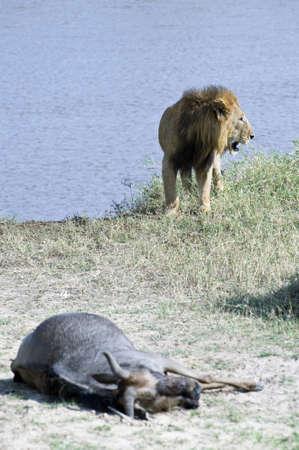 panthera leo: Tanzania, Serengeti National Park, the Mara River area, a lion Panthera leo With His quarry Stock Photo