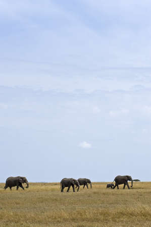 loxodonta africana: Tanzania, Serengeti National Park, the Mara River area, an elephant (loxodonta africana) family Stock Photo
