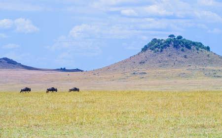 taurinus: Tanzania, Serengeti National Park, the Mara River area, wildebeests Connochaetes taurinus