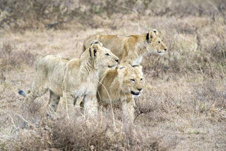 panthera leo: Tanzania, Ngorongoro National Park, lions family Panthera leo Stock Photo