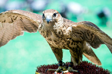 falconry: Qatar, Doha, a falcon in the Souq Wakif in the old city center