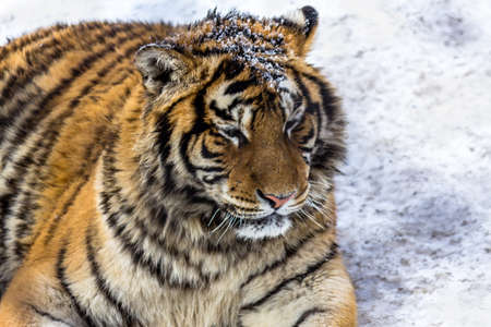 Siberian Tiger Park, Harbin, China 写真素材