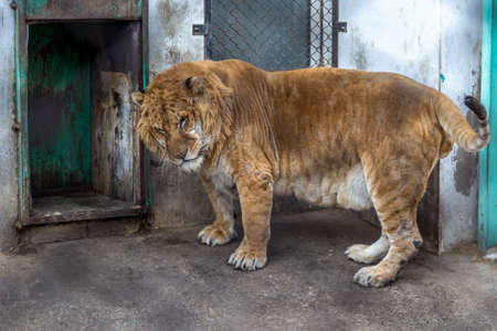A Liger in the Siberian Tiger Park, Harbin, China. The Liger is the hybrid of a male lion and a female tiger, and there is only a 0.1% chance That such a baby is born. 写真素材