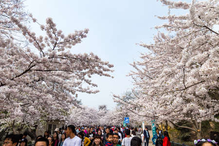 April 2016 - Qingdao, China - Tourists walk in Zhongshan park During The Cherry blossoms festival That happens every year in Spring.