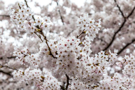 Blooming Cherry blossoms in Zhongshan Park in Spring, Qingdao, China. Every year Zhongshan park hosts the Cherry blossoms festival That attracts Thousands of tourists