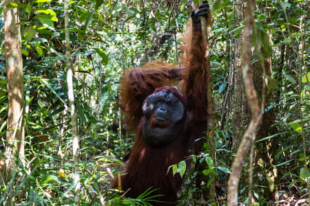 Tanjung Puting National Park, Borneo, Indonesia: the Alpha Male Orangutan during feeding at the second station of the park