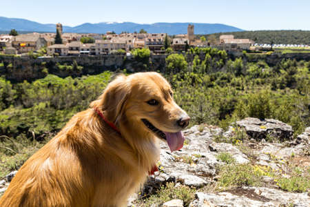 Pedraza, Castilla y Leon, Spain: golden retriever in front of the panorama of Pedraza village from the Mirador Tungueras. Pedraza is one of the best preserved medieval villages of Spain 写真素材
