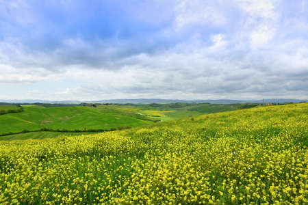 An expanse of flowers in the foreground with yellow flowers in the Siena countryside