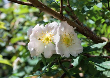 briar bush: Briar bush with white flowers