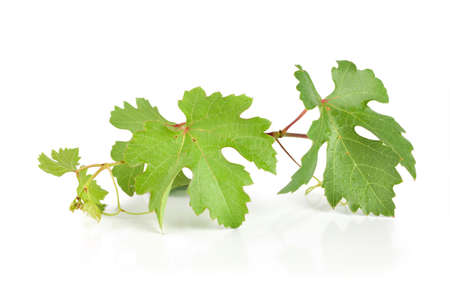 grapes on vine: Grape leaves isolated on white background