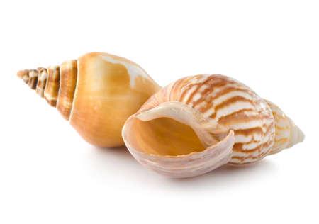 Two seashells photo