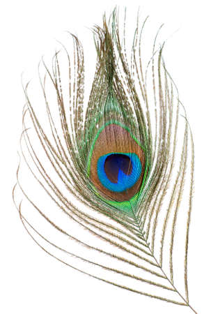 peacock feathers: Peacock feather isolated on a white background Stock Photo
