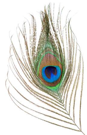 piuma di pavone: Piume di pavone isolata su uno sfondo bianco