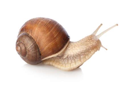 Crawling snail photo