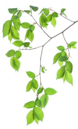 branch tree: Tree branch