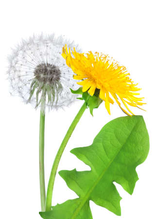 Dandelion flower isolated photo