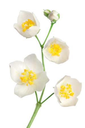 jasmine flower: Jasmine flowers