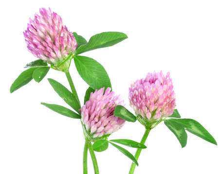 red clover: Three red clovers isolated on white background