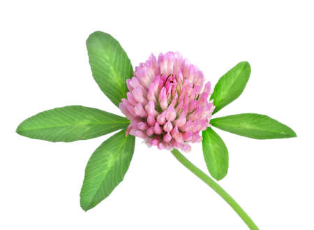 red clover: Red clover isolated Stock Photo
