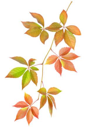 Branch with leaves Фото со стока