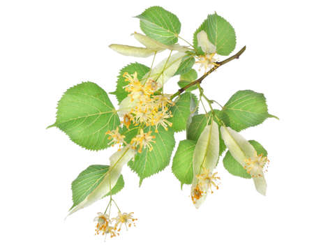Flowers of linden-tree photo