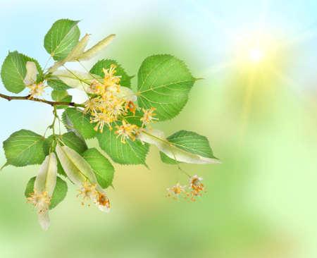 Background of a linden garden