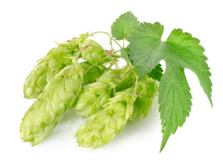 hop hops: Cluster of hops with leafs isolated on white background