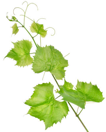 Fresh grape leaves isolated Stock Photo - 15090517
