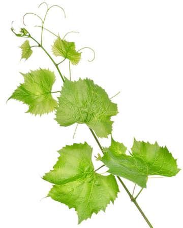 Fresh grape leaves isolated Stock Photo - 15090517
